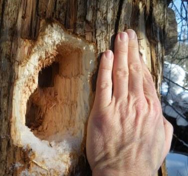 Large woodpecker hole in cedars area.