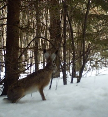 Hare in spruces area after an early snow.