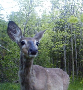 Fawn north of pond, captured with the Trail-Cam.