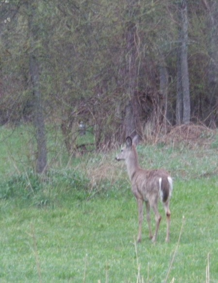Fawn between house and pond.