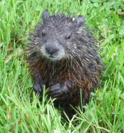 Wet little groundhog near old barn foundation.