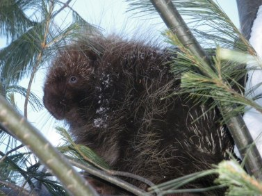 Juvenile porcupine in east end of white pine area.