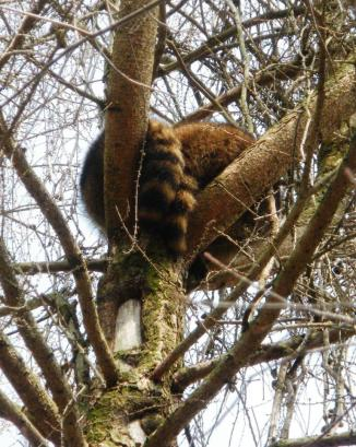 A couple raccoons lazily sleeping away in the crook of a larch.
