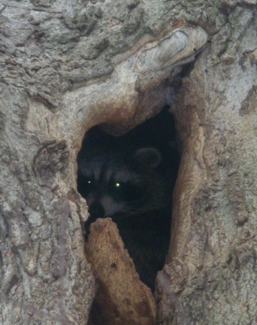 Racoon in the hollow of a large fallen tree near guest cabin.