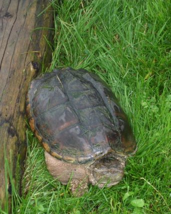 Large snapping turtle near pond.. they can live up to 80 years!