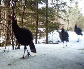 Parade of wild turkeys in spruces area.