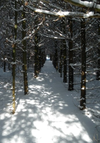 Trail through white pines near ruins of settlers' barn foundation
