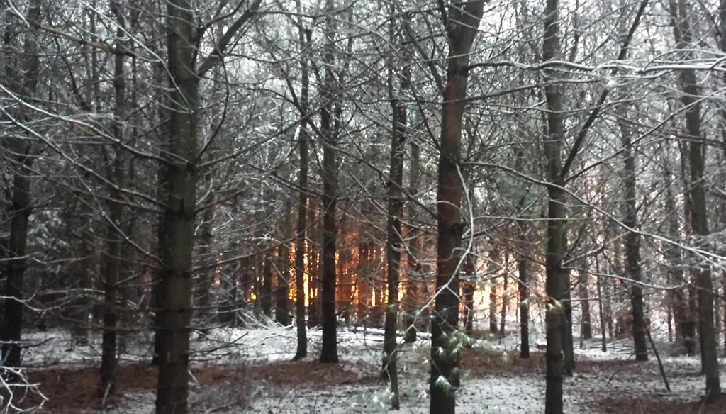 dawn_pines