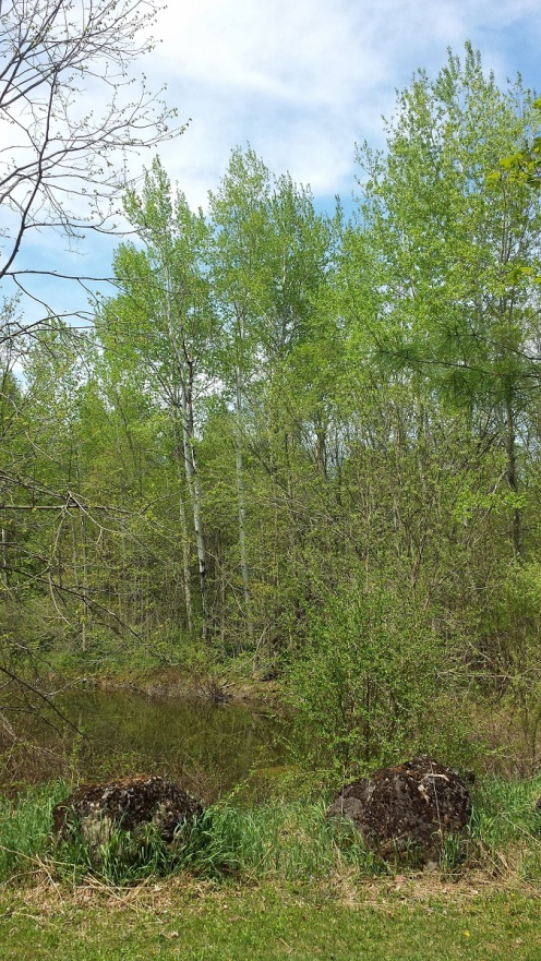 View of pond showing Trembling Aspen and Larch, which are first in the leaf-out parade.